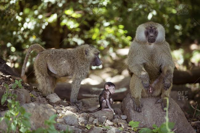 Monkeys on rocks at forest