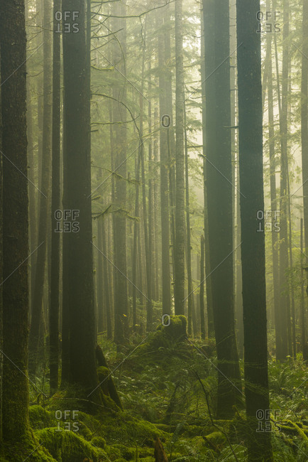 Trees in forest during foggy weather at North Cascades National Park