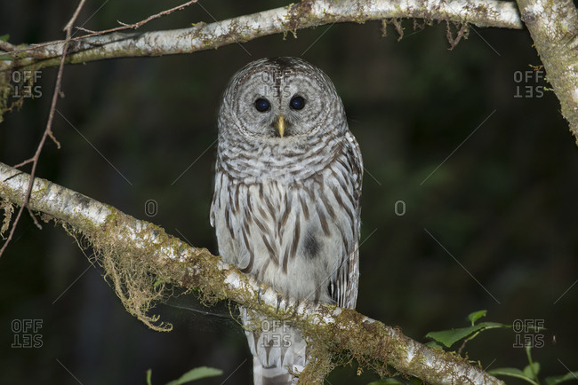 Portrait of owl perching on branch at Olympic National Park