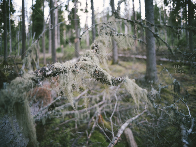 Moss covers underbrush in the taiga, Sweden