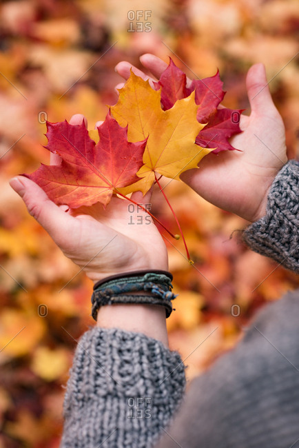 Close-up of woman's hands holding maple leaves during autumn