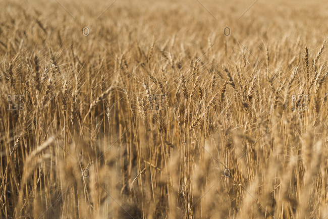 Fresh crop of wheat in wheat field on a sunny day