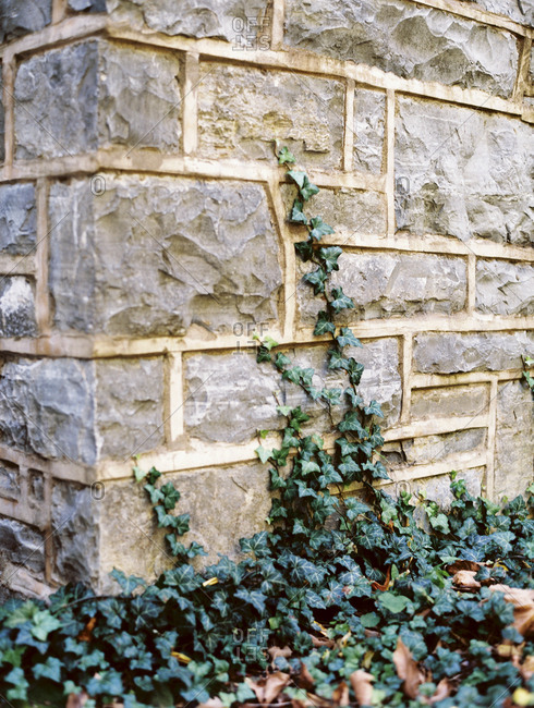 Ivy growing up stone wall