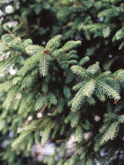 Closeup evergreen branches