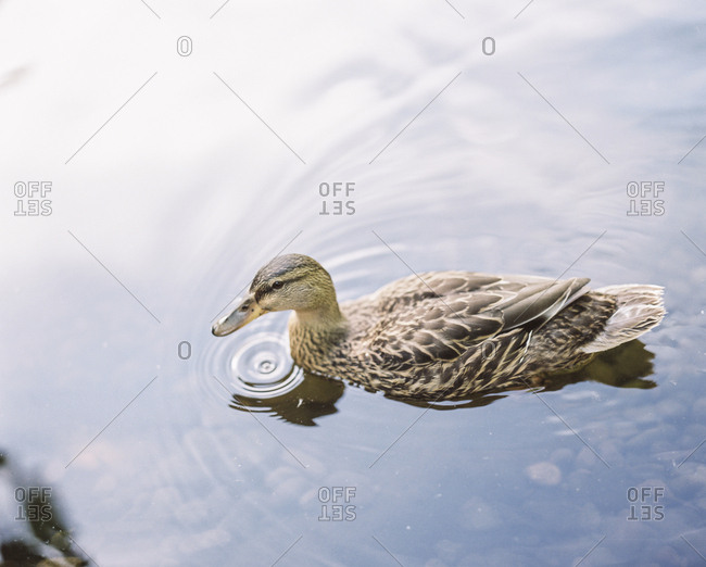 Duck in calm water