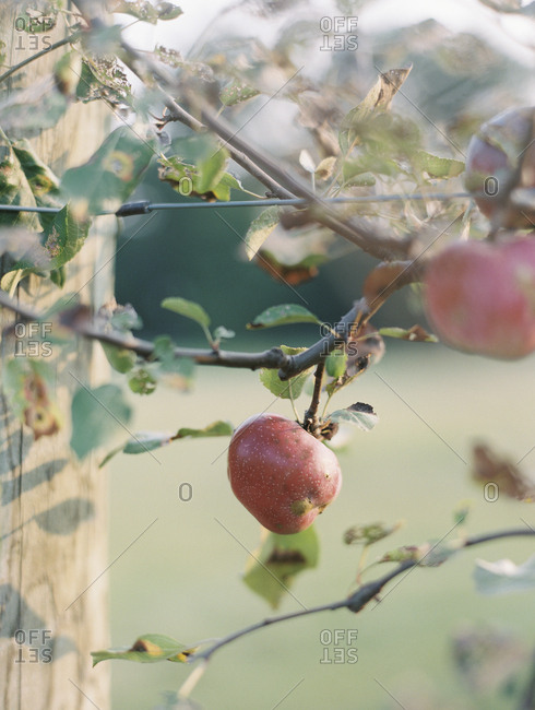 Ripe apple hanging from tree