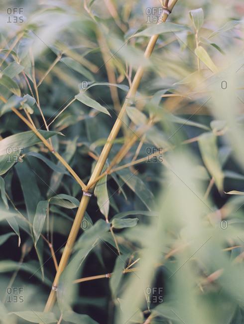 Thin leafy bamboo plants