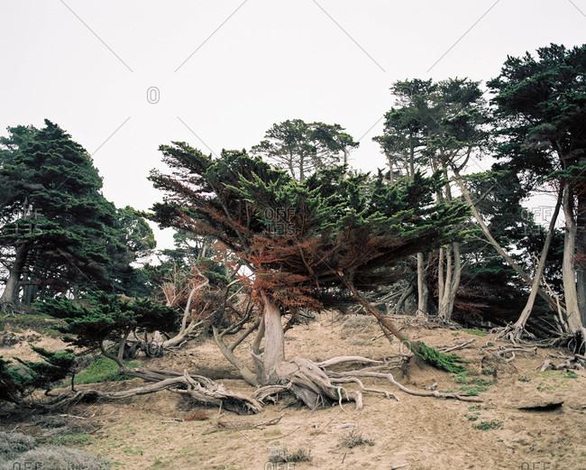 Windswept coastal trees on hillside