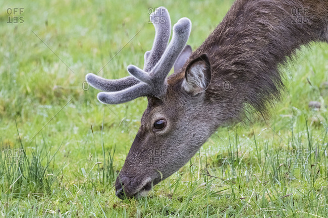 UK- Scotland- Highland- Glencoe- red deer grazing