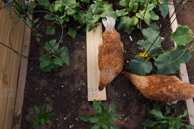 Chicken pecking at soil
