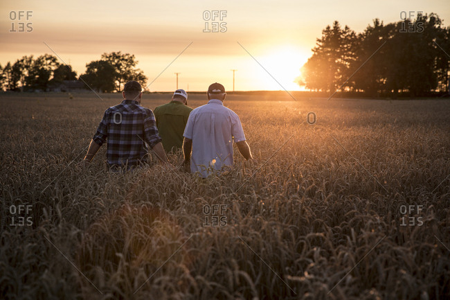 Caucasian men walking though field of wheat