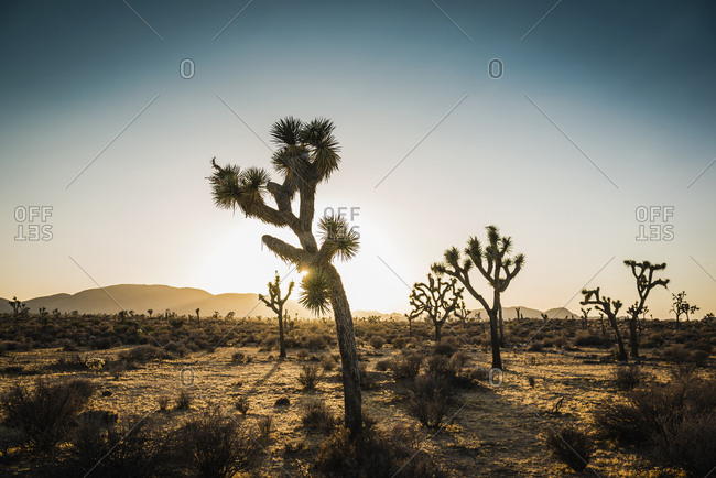 Trees in the desert