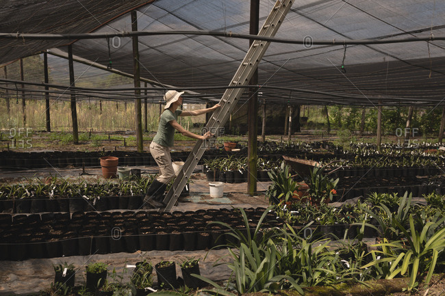 Farmer climbing up the ladder in the greenhouse