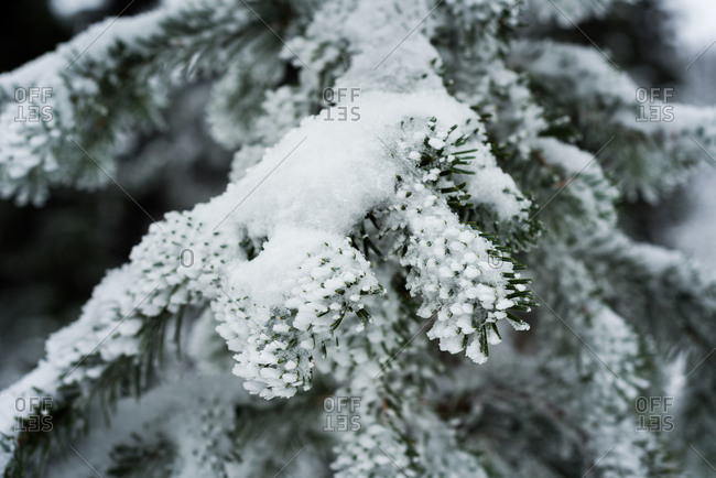 Close-up of pine leaves covered with snow during winter