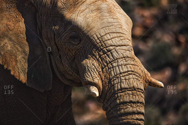 Close-up of elephant showing its tusk on a sunny day
