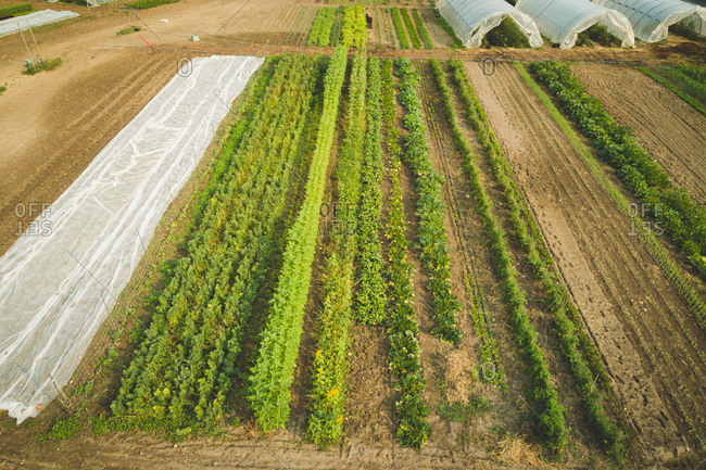 Aerial of crop plantation in the farm on a sunny day