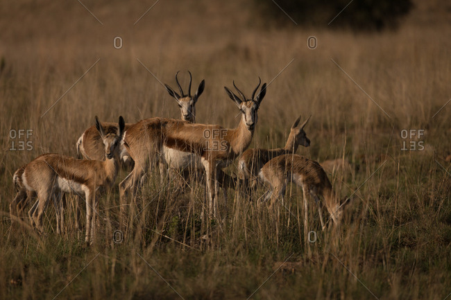 Herd of antelopes grazing on the savannah on a sunny day