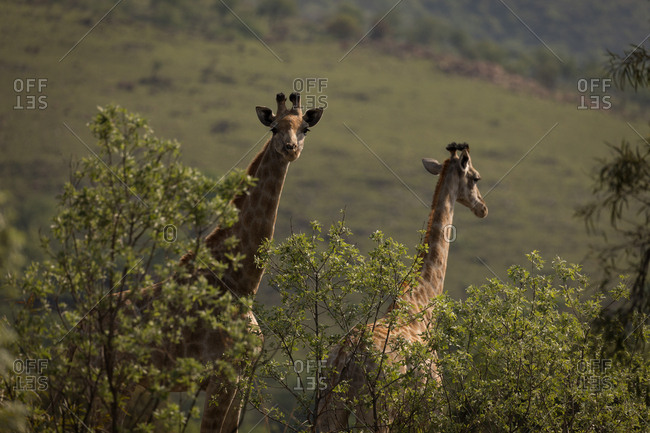 Two giraffes in safari park on a sunny day
