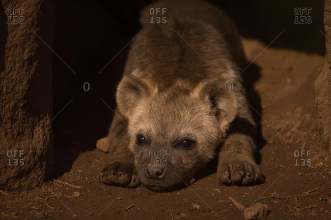 Close-up of baby hyena relaxing at safari park