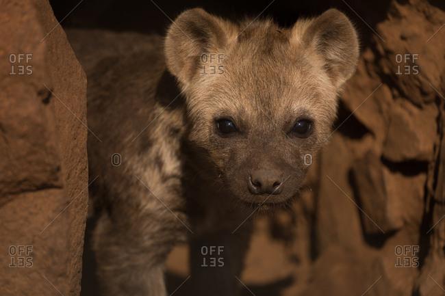 Close-up of baby hyena at safari park