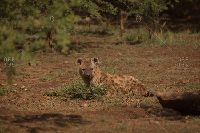 Hyena relaxing in safari park on a sunny day