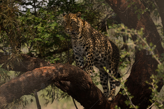 Leopard walking on branch at safari park