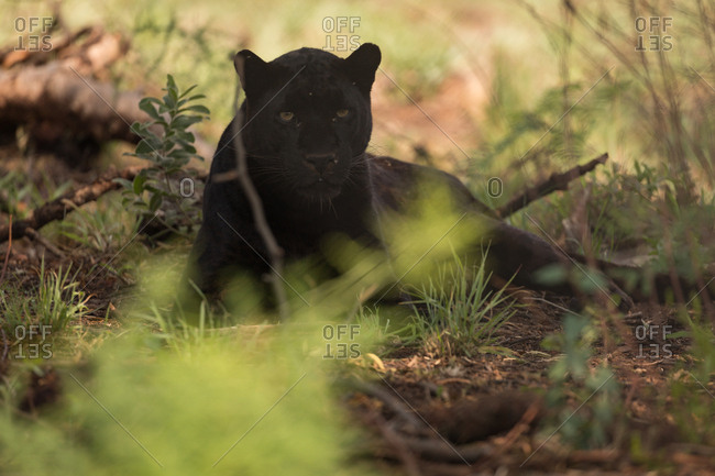 Black panther relaxing at safari park on a sunny day