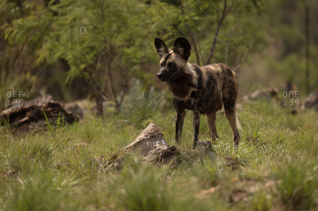 African wild dog at safari park on a sunny day