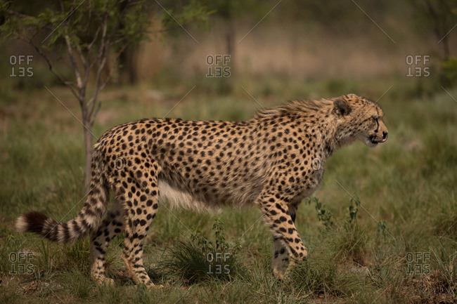 Cheetah walking in grassland at safari park on a sunny day