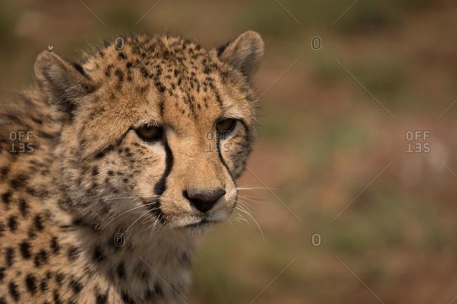 Close-up of cheetah at safari park on a sunny day