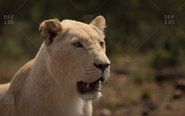 Close-up of lioness at safari park