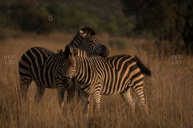 Two zebras at safari park on a sunny day