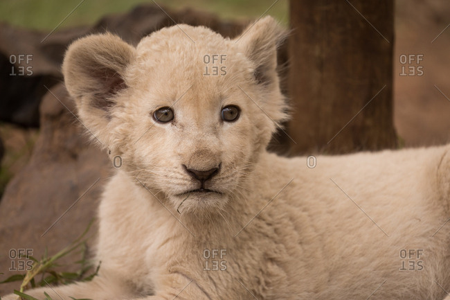 Close-up of lion cub relaxing at safari park