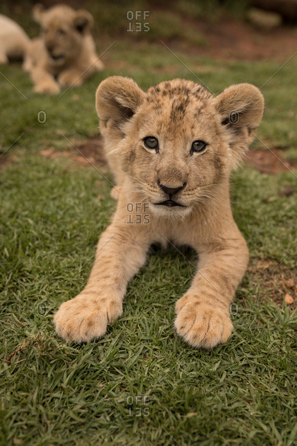 Lion cubs relaxing on grass at safari park