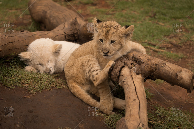 Two lion cubs relaxing at safari park on a sunny day
