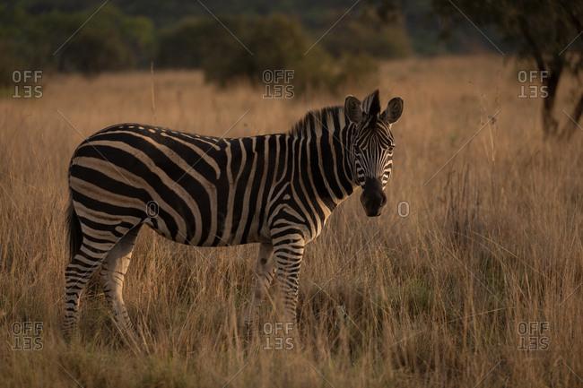 Zebra standing in the savannah at safari park