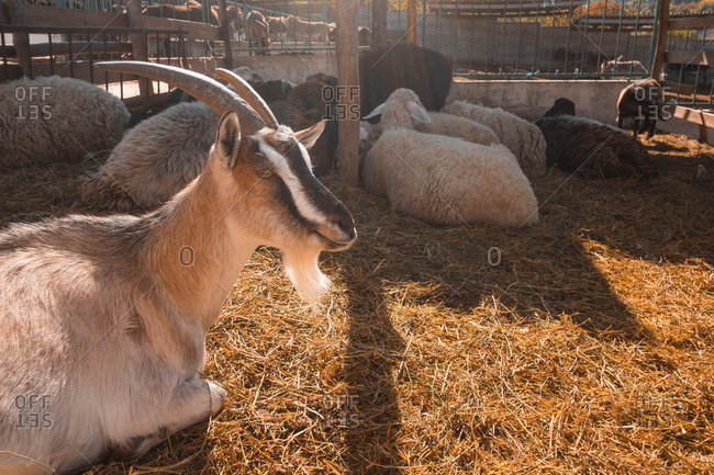Goats and sheep in a farm pen