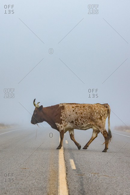 Longhorn crossing empty road
