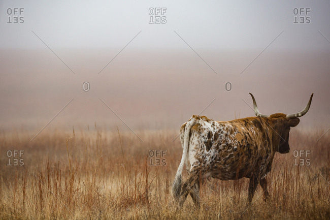 Longhorn walking away in hazy pasture