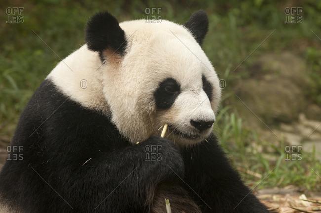 Red Panda Fur - Offset Collection