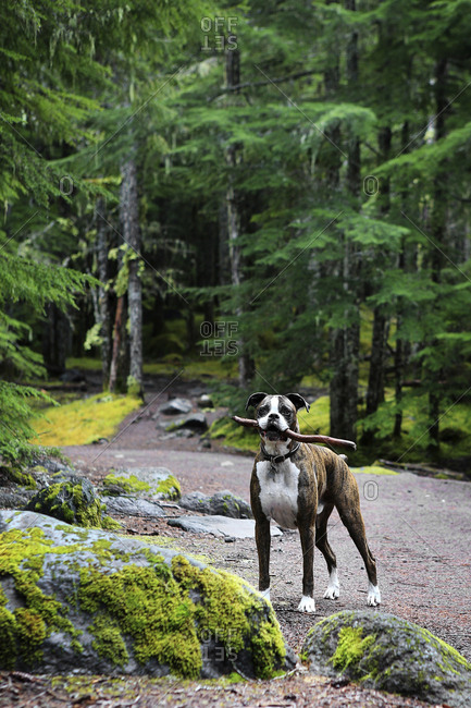 Portrait of Boxer carrying stick in mouth while standing at forest