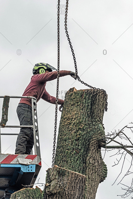 Arborist in platform putting chain of crane on large tree trunk