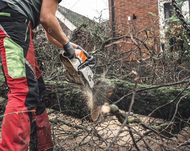 Arborist chain sawing pieces of wood of cut down old oak