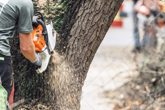Man with chainsaw cutting large tree trunk