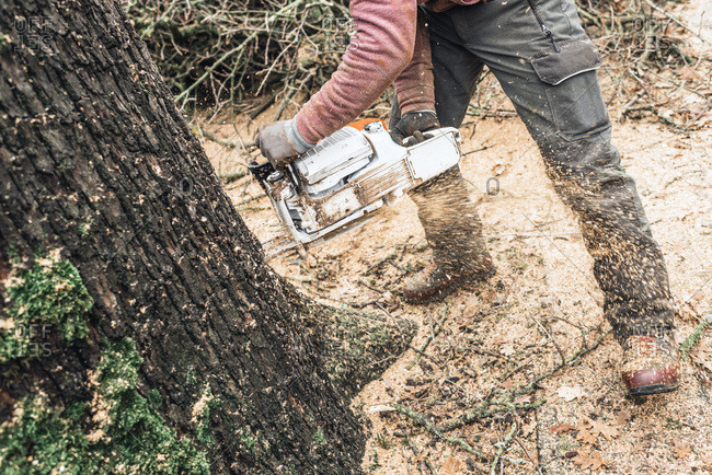 Arborist with chainsaw cutting large tree trunk of old oak