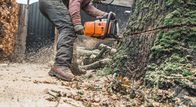 Geesteren (GLD), Netherlands - December 5, 2017: Arborist with chainsaw cutting large tree trunk of old oak
