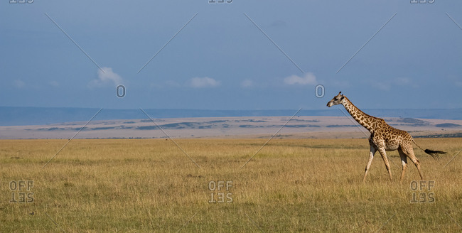 Giraffe, Maasai Mara National Game Reserve, Kenya
