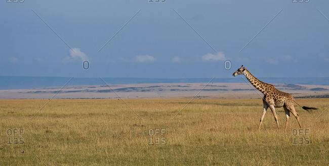 Giraffe, Maasai Mara National Game Reserve, Kenya