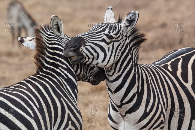 Zebras fighting in Natural Reserve of Ngorongoro, Tanzania, ngorongoro, Tanzania