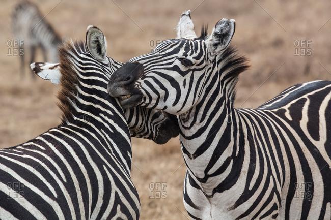 Zebras fighting in Natural Reserve of Ngorongoro, Tanzania, ngorongoro, Tanzania